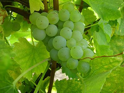Vignoble d'Alsace : terroir du Domaine Selig
